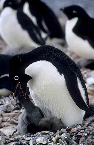 Adelie Penguin, (Pygoscelis adeliae) Adult feeding chick. Torgensen Island. Antarctica Peninsula.