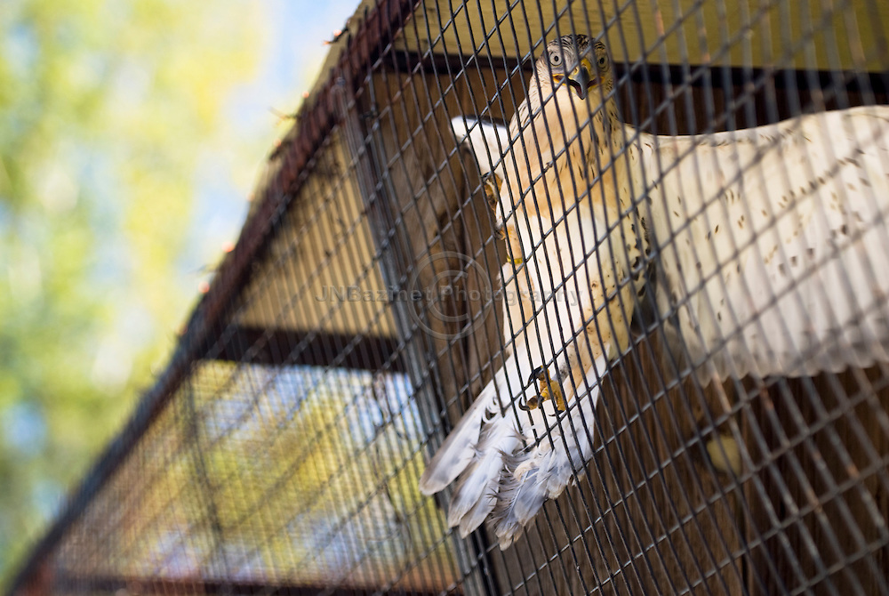 Trapped inside a cage, Ferruginous Hawk is extremely agitated.
