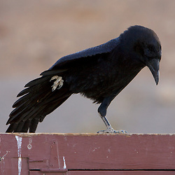 A raven in Death Valley National Park, CA.