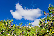 Lush vegitation and hala trees (Pandanus tectorius), along the Kalalau Trail, Na Pali Coast, Island of Kauai, Hawaii