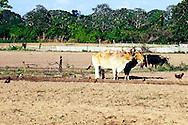 Oxen near Sabalo, Pinar del Rio, Cuba.