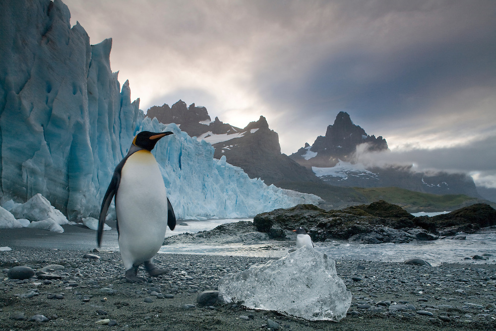 Antarctica, South Georgia Island (UK), King Penguin (Aptenodytes patagonicus) walks past icebergs calved from vertical ice face of tidewater glacier along Trollhul at sunrise on summer morning