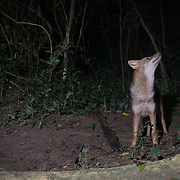 The asiatic or golden jackal (Canis aureus) is a canid native to southeastern and central Europe, Asia Minor, the Middle East and South Asia.