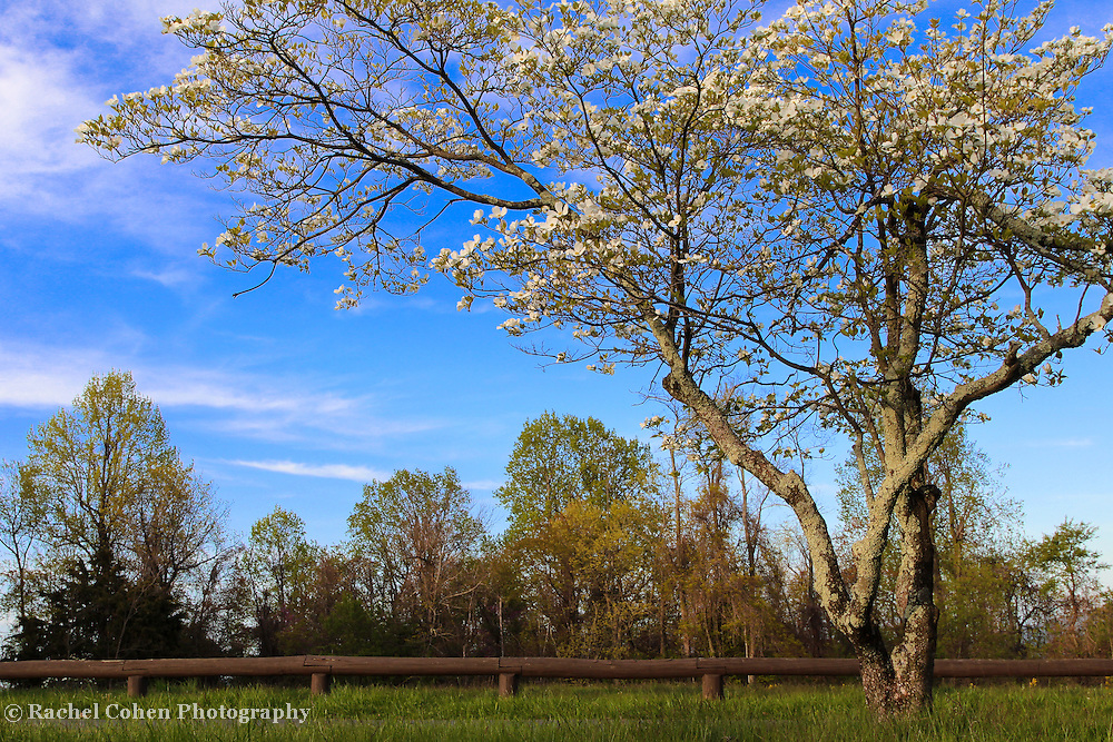 &quot;Dogwood Blossoms at Dickey Ridge&quot;<br />