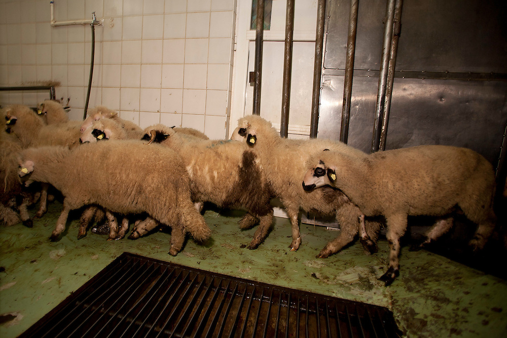 Sheep being led to slaughter at Turkovic halal meat processing plant, Sjenica, Serbia.