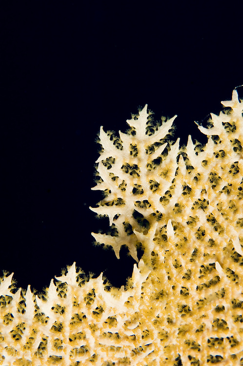 A macro photo of a sea fan showing polyps, from Belize.