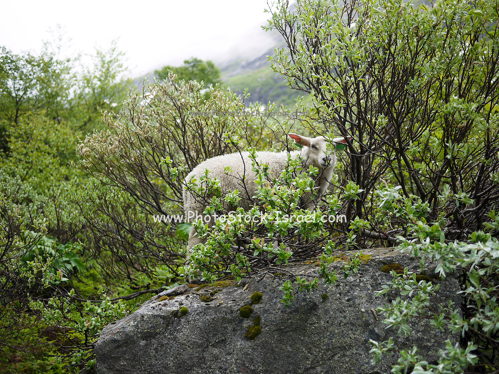 Videseter Norway a sheep in the bushes
