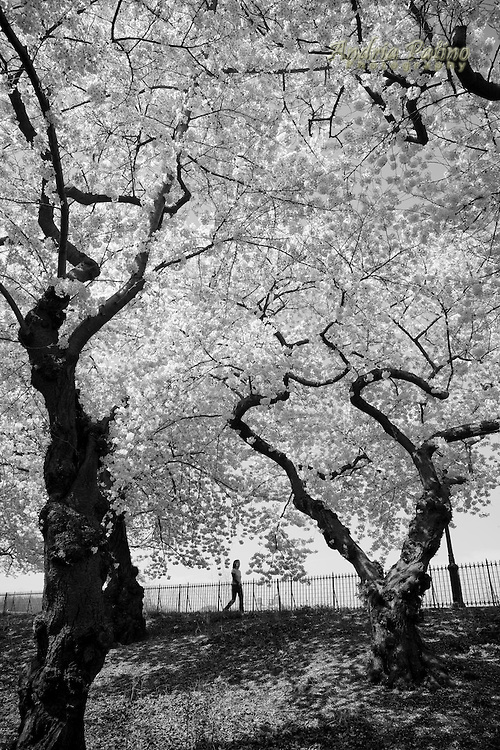 Figure amongst Cherry Blossoms