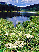 Cow Parsnips grows wild along the shore of Pearl Lake at Pearl Lake State Park, Colorado.