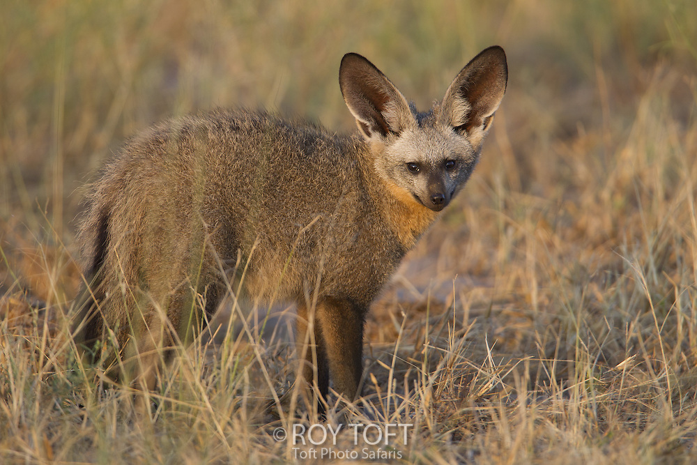 Bat-eared fox (Otocyon megalotis), Botswana