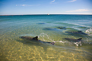Monkey Mia Shark Bay is 850 kms north of Western Australian capital Perth. Situated mid way up the Western Australian coast the area famous for it's wild dolphins and is classified as a World Heritage Region.