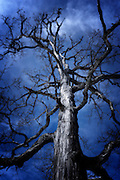 Tree large against dark blue sky, bare limbs