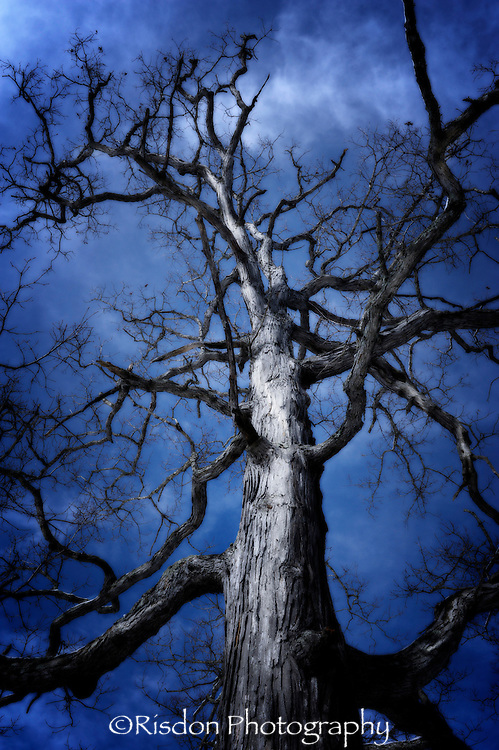 Tree large against dark blue sky, bare limbs