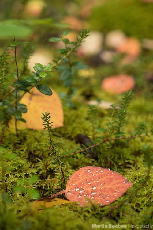 Autumn aspen leaves on mossy forest floor, Denali National Park, Alaska