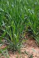 emerging wheat