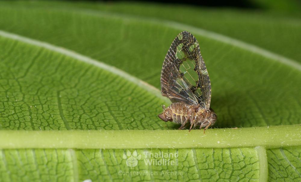 Derbidae sp. planthopper in Kaeng Krachan National Park, Thailand.