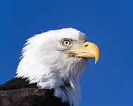 Bald eagle head portrait, blue sky background, © 2000 David A. Ponton