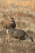 A large buck mule deer with a doe during the fall rut.