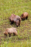 Grizzly Bear (Ursus arctos horribilis) - female with cubs<br /> CANADA: British Columbia (Stikine Region)<br /> along Alaska Highway<br /> 18-July-2012<br /> J.C. Abbott &amp; K.K. Abbott