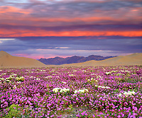 When saw this colorful storm cloud over a field of desert wildflowers at sunset, I quickly took out my camera to document  the scenic Dumont Dunes.