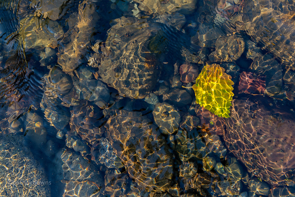 A few first leaves are turning gold and falling into the Dungeness River, 3 weeks before fall arrives officially.