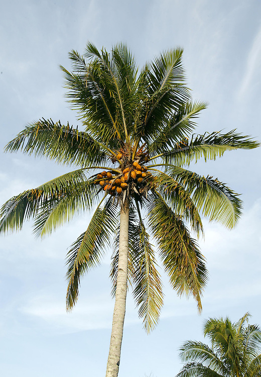 A coconut palm in Nadi, Fiji, February 01, 2006. Credit:SNPA / Rob Tucker