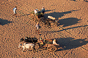 Cattle drawn carts on sand, Mandrare river, Madagascar.
