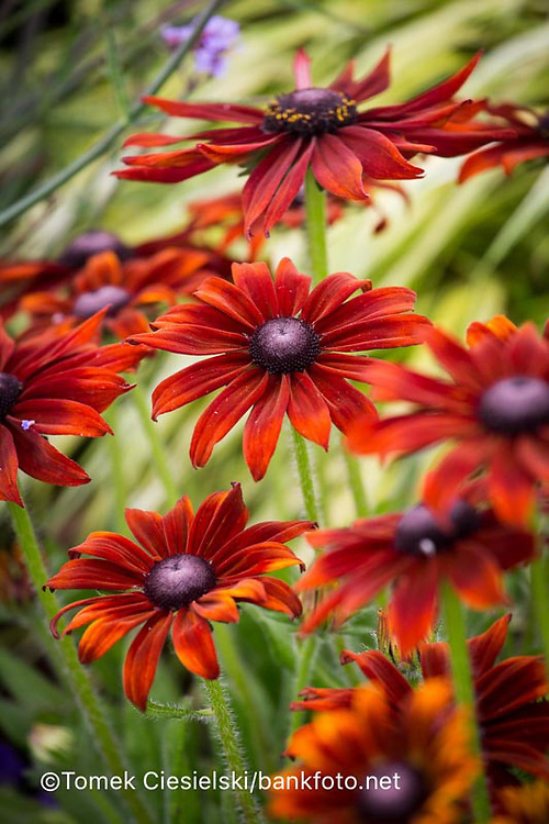 Rudbeckia 'Summerina Brown'