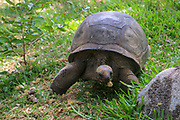 Ploughshare tortoise (Geochelone yniphora) on grass. Photographed in Madagascar.