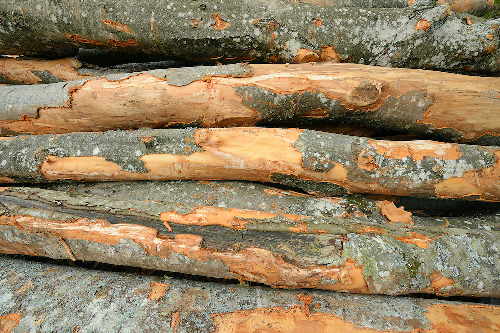 Beech tree, Fagus silvatica, tree trunks logged inside the forest, North Velebit National Park,  Velebit Nature Park, Rewilding Europe rewilding area, Velebit  mountains, Croatia