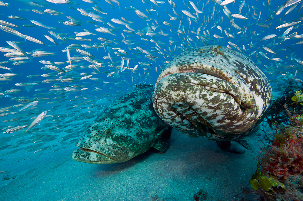 Goliath Grouper, Epinephelus itajara, and Cigar Minnows, Decapterus punctatus, swim side by side near the shipwreck of the Zion in Jupiter, Florida, United States.