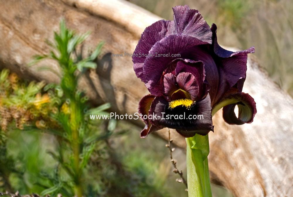 Iris atropurpurea, Israel, February 2007
