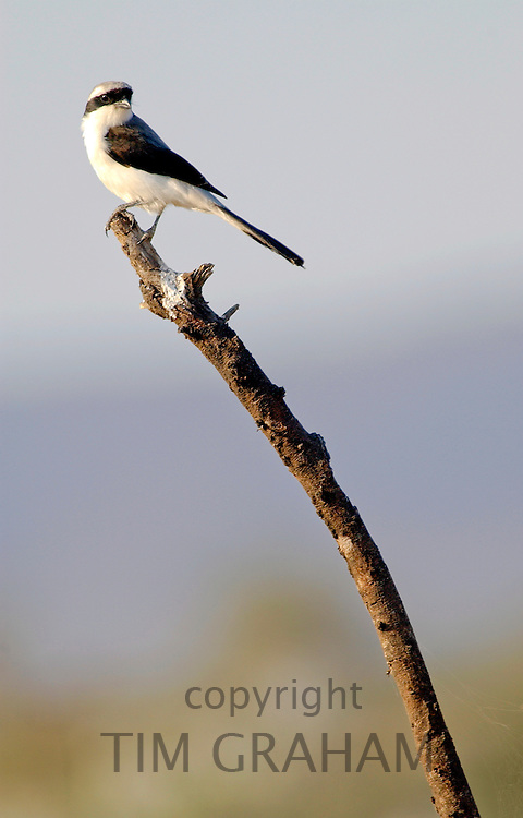 Gray-backed Fiscal (shrike), Grumet, Tanzania, East Africa