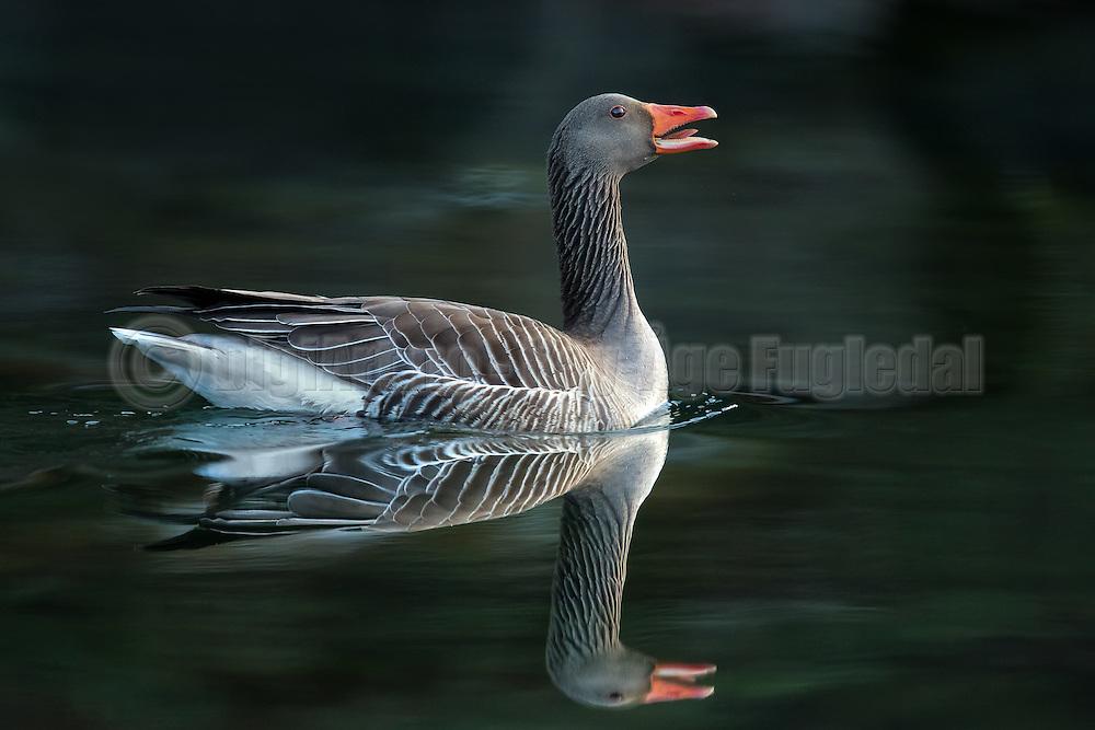 Gray Goose with a reflection, svimming on the ocean | Grågås med speilbilde, svømmer i sjøen