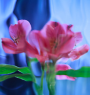 Pink lillies viewed through contoured blue glass