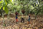 Tanic Kouakou, 8, (R) and some friends carry palm nuts on their fathers cocoa plantation near the town of Moussadougou, Bas-Sassandra region, Cote d'Ivoire on Monday March 5, 2012. Tanic goes school but helps his father on his off days.