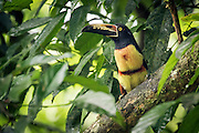 A Collared Aracari in the lush lowland rainforests of Costa Rica