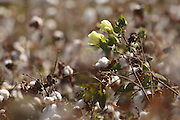 Flowering Cotton shrub (Gossypium) Photographed in Israel