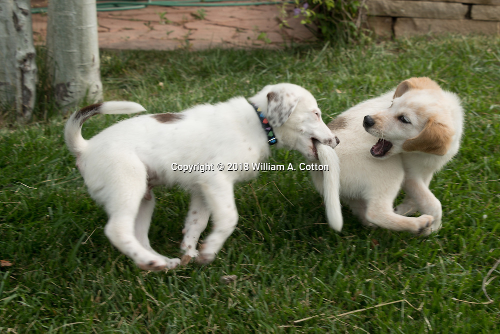 Foster puppies Bert and Ernie from Animal House Rescue and Grooming play in the backyard, June 17, 2018.