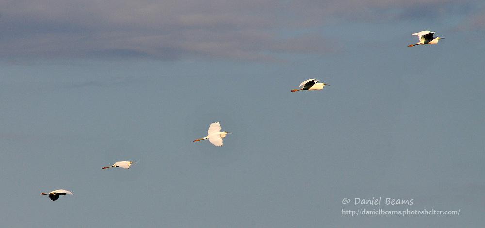 Cattle Egrets in flight near San Lorenzo, Beni, Bolivia