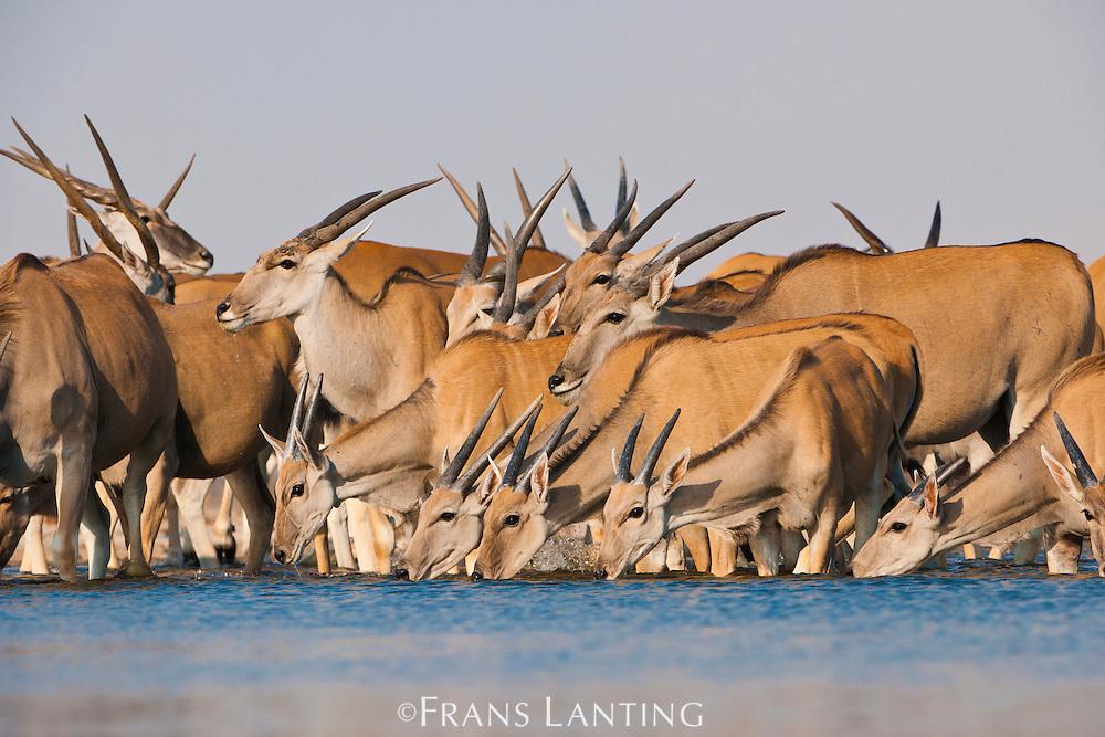 Elands at waterhole, Taurotragus oryx, Etosha National Park, Namibia