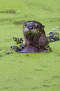 River Otter clutching log in green, algae filled pond, Mt St Helens National Monument