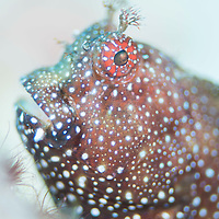 Portrait of a Starry Blenny, Salarias ramosus, Mabul Island, Sabah, Malaysia, Borneo.
