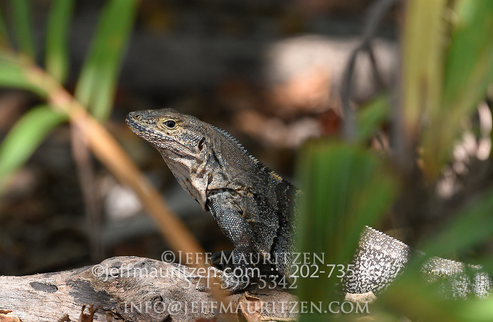 A Black spiny-tailed iguana in Manuel Antonio National Park, Costa Rica.