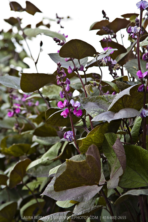 Purple-podded Hyacinth bean vine (Dolichos lablab)
