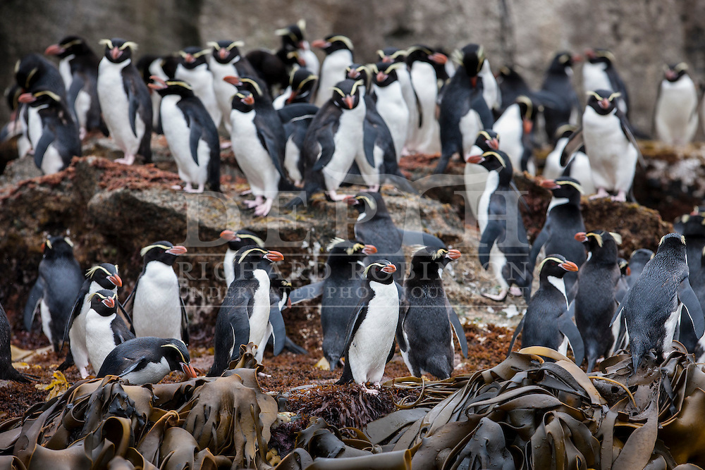 Eudyptes robustus (Snares Crested Penguin) at the Subantarctic Snares Islands, New Zealand.<br /> Photograph Richard Robinson &copy; 2016