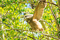 I was very excited to find a family of Great Horned Owls, including two juveniles.  The owlets were flapping their wings and hopping around from branch to branch.  It seems that they can't quite fly yet, but they're definitely stretching their wings and getting ready to try!<br /> <br /> ©2009, Sean Phillips<br /> http://www.Sean-Phillips.com