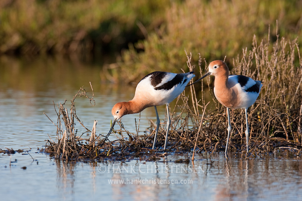 An american avocet pair try to build a nest amongst flooded twigs