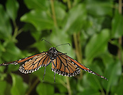The monarch Butterfly (Danaus plexippus) is caught in flight by high speed photography. This species is known for its strong flight muscles which allow this butterfly to migrate from Canada to Mexico.