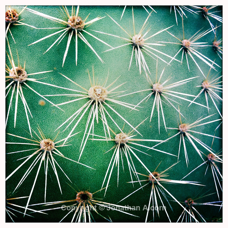 Closeup of a cactus leave with spines